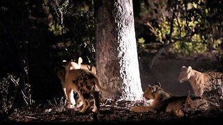 Adorable Lion Cubs Mimic 'Hide & Seek' Game During Night Play Session