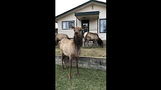 Docile elk suddenly chargers at photographer