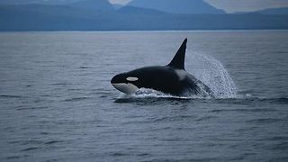 Killer Whales Hunt For Dinner In Front Of Spectators