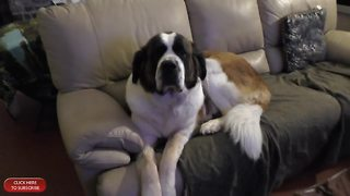 Needy Saint Bernard Watches Playoffs With Owner, Dozing On The Couch - Video