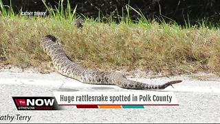 Giant rattlesnake spotted in Polk County - Video
