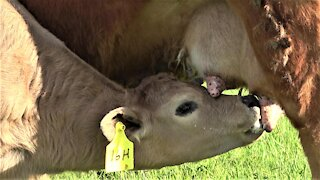 Calf has adorable milk mustache as he drinks from his mother