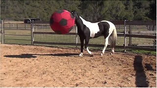Soccer-loving horse plays with giant ball