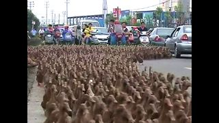 5000 Ducks Go For A Walk - Video