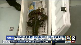 Lobster that was born in the 19th century is released back into the sea - Video