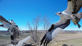 Nest Camera Captures Birds Of Prey In Ferocious Battle For Fish - Video