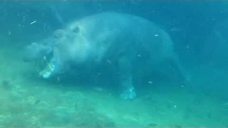 Man Plays Peek-a-Boo With a Hippo - Video