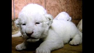 White Lion Cubs Born At Belgrade Zoo - Video
