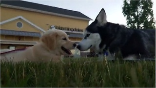 "Siberian Husky ""chats"" with Golden Retriever puppy"