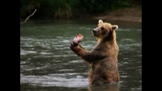 Keeping Track Of The Bear Population - Video