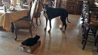 Funny Great Dane talks to cat and carries box to her bed - Video