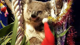 Diesel the Koala All Pumped Up for His Christmas Play Set - Video