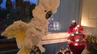 Curious Cockatoo Investigates Kitchen Counter - Video