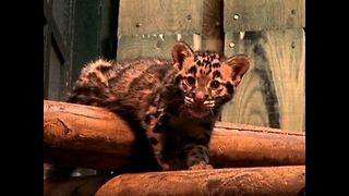 Rare Clouded Leopards - Video