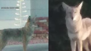 Royal Crest Rancheros neighbors concerned after coyote sightings - Video