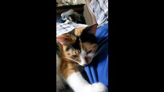 Amber the cutest Calico you will meet.