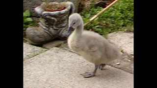 Ziggy The Baby Swan S04100601 - Video