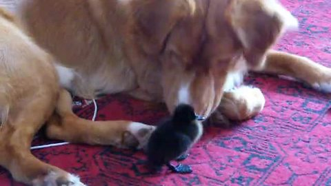 Fearless ducking plays with duck tolling retriever