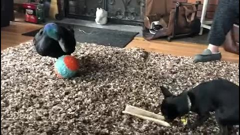 Duck & dog best friends adorably play together