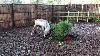 Reindeer uses Christmas tree to itch a scratch - Video