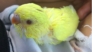 Parakeet thoroughly enjoys head scratches - Video