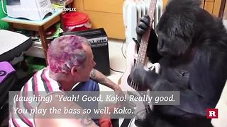 Famous bassist has sweet jam sesh with a gorilla - Video