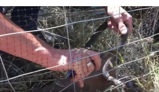 Trapped Eastern Brown Snake Cut Out of Bird Netting - Video