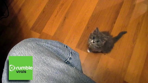 Adventurous baby kitten is determined for the high ground