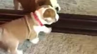 Puppy thoroughly confused by reflection in mirror - Video