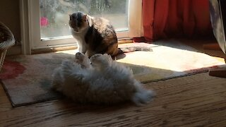 Puppy adorably determined to catch cat's tail
