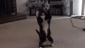 Determined cat loves to pop bubbles - Video