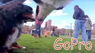 GoPro mounted on husky captures day at the park - Video