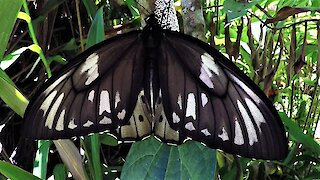 Giant birdwing transforms from caterpillar to cocoon to butterfly