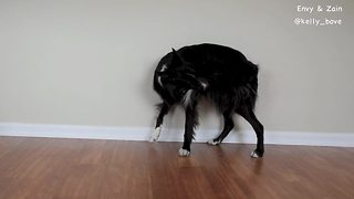Dog learns how to play fetch with his own tail  - Video