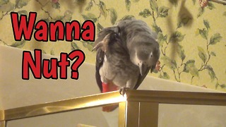 Parrot vocally offers nuts for your enjoyment! - Video