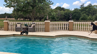 Great Dane and German Short Haired Pointer Pool Party
