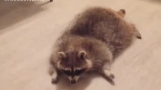 Funny raccoon sprawls out on stomach