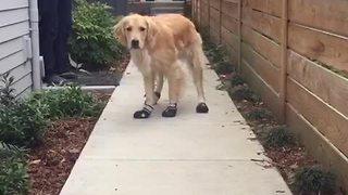 Golden Retriever humorously breaks in new shoes - Video