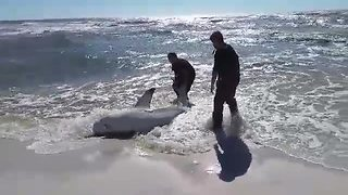 Brave fishermen rescue beached dusky shark - Video