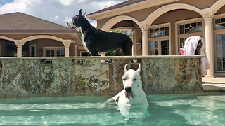 Great Danes Enjoy Double Dog Dipping   - Video
