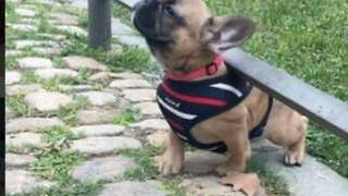 Puppy adorably struggles to get back on pathway