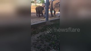 Baby elephant kicks bird out of its zoo enclosure - Video