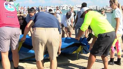 Rescued manatee returns to the wild