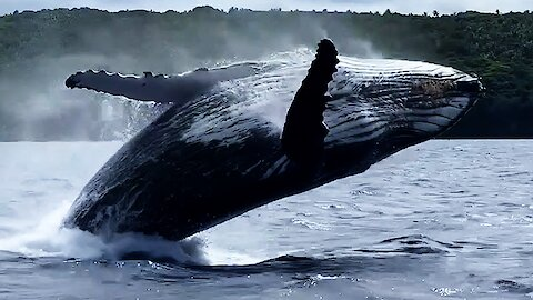 Humpback whale leaps with joy as it follows whale-watching boat