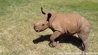 These rhino orphans are so cute when running and playing like children - Video