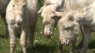 Albino Donkey Island - Video