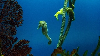Seahorses glide gracefully among ocean coral - Video