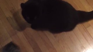 Cat attacks owner for poor singing skills - Video