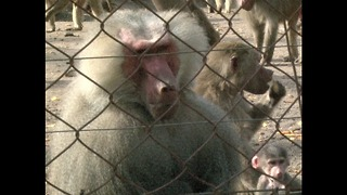 Monkeys Take Over Zoo - Video