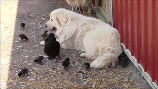 Mellow guard dog bonds with baby farm animals